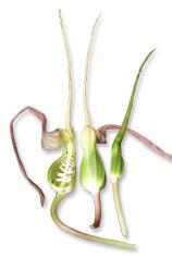 Sebutan Keladi Tikus karena bunganya menyerupai ekor tikus.